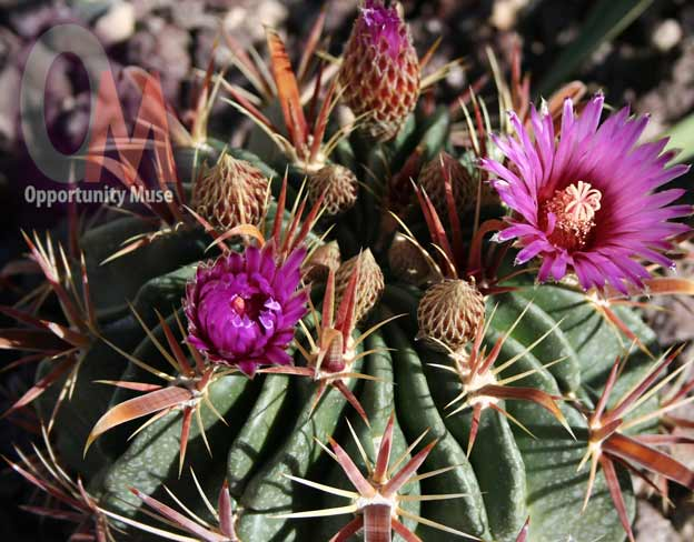 Fishhook barrel cactus is drought tolerant and produces for Fish hook cactus