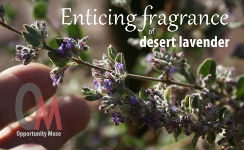Desert Lavender Has An Enticing Fragrance And Is Easy To Grow