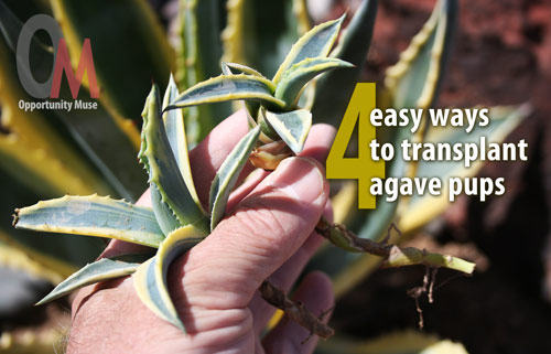 4 Easy Steps To Transplant Agave Pups And Have A 100 Success Rate