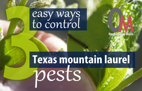 3 easy ways to control Texas mountain laurel pests