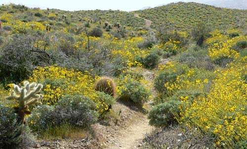 Brittlebush flowers in Palm Canyon