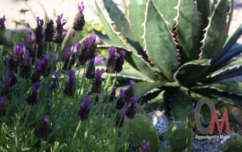 Spanish lavender contrasts with agave