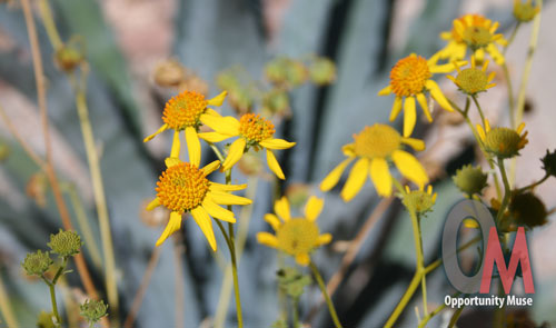 brittlebush and century agave