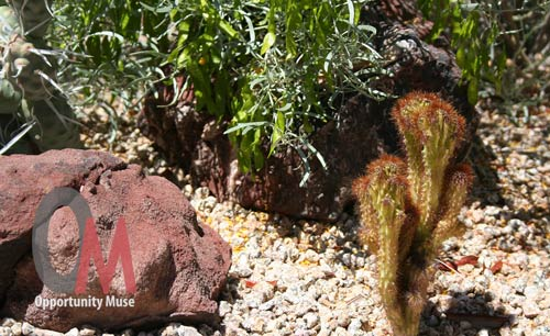 dwarf cactus next to rock and silver leaf cassia